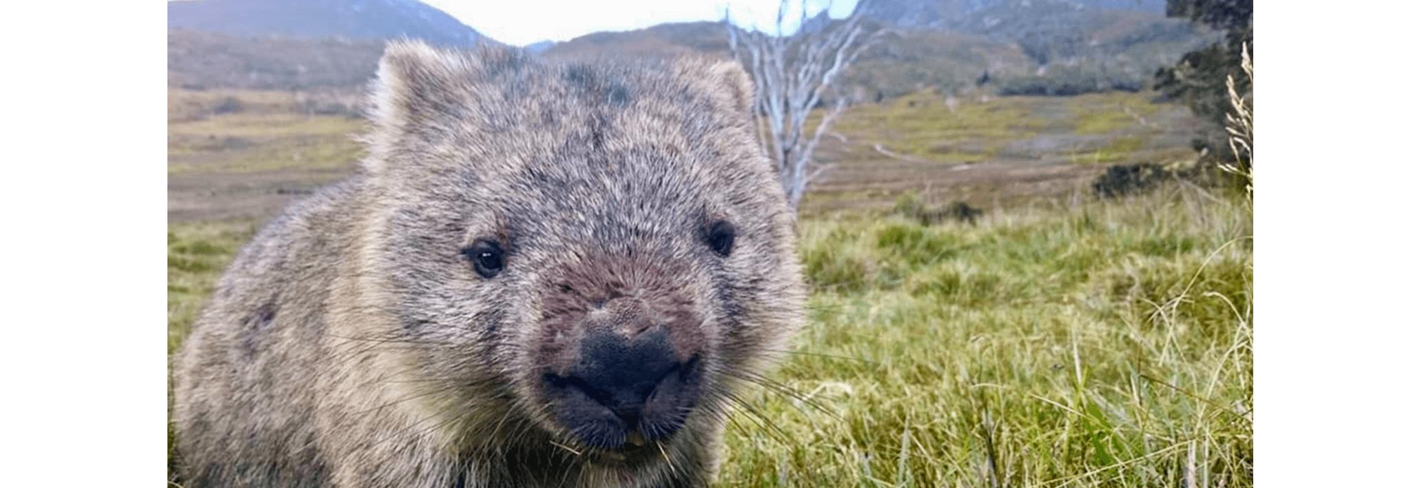wombat at waldheim